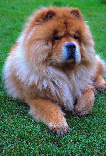 The chow is an Arctic-type #dog ,powerful, squarely built and sturdy with heavy bone and strong muscular development. It is a breed suited for a number of tasks, rather than specializing in one, and its build reflects its ability to hunt, herd, pull and protect.  #chowchowdogs
