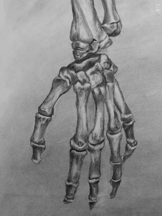 Human Hand Bones in Charcoal  by David W. Stann