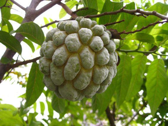 Organic 10 Seeds Sugar Apple Annona Squamosa Fruit by seedsshop