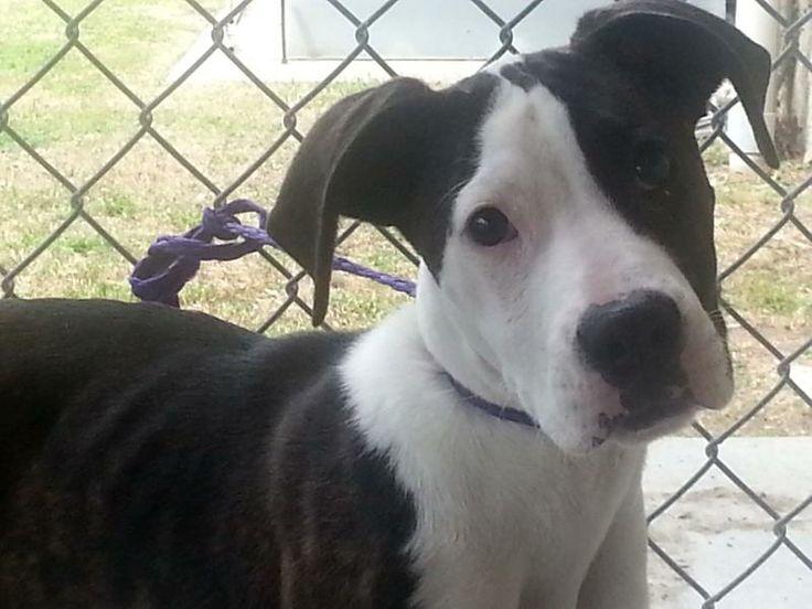 Apollo Boxer & Terrier Mix • Young • Male • Medium Tri-City Animal Shelter Cedar Hill, TX
