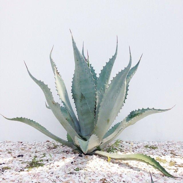 agave    --    olivia hamilton   /   aloha olive --     http://instagram.com/p/qumRJLLX1N/        --       http://femme-minimaliste.tumblr.com/