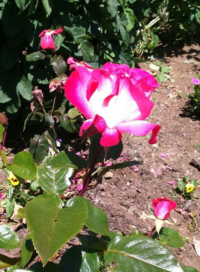 Rosa fucsia con blanco