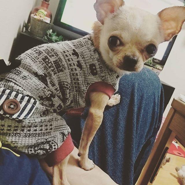 king店長の秋コーデ✨ つなぎの服が良く似合う❗🎵 #愛犬 #犬 #犬モデル #犬好きさんと繋がりたい #犬好き #秋コーデ #かわいい #おしゃれ #おしゃれさんと繋がりたい #注目 #roi #著名人 #メディア #人気 #チワワ #人気者 #流行り #20代 #30代 #40代 #アラサー #アラフォー #大阪