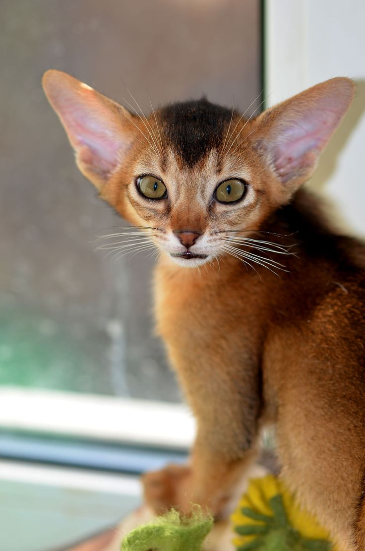 257 best Abyssinian Cats ... A very Special Breed images on ...