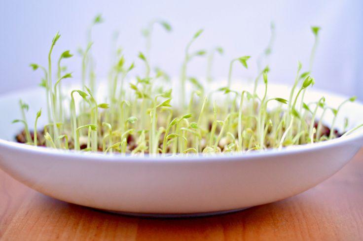 Adzuki Bean Sprouts | WIN-WIN FOOD