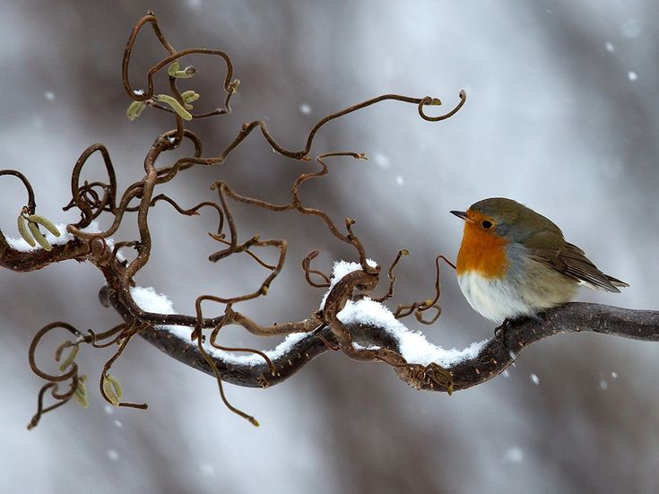 February | ❤ Robin Image, Halland, Sweden - National Geographic Photo of the Day