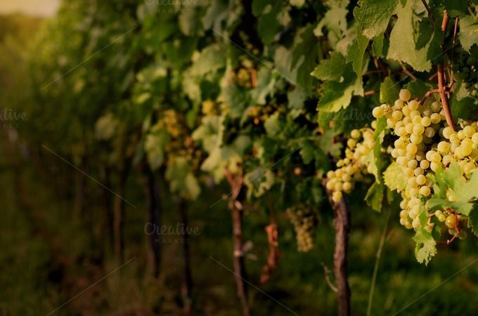 Grapevine in beautiful sunset light. by WonderMe