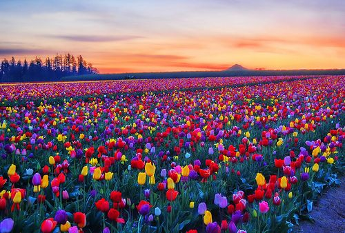 beautiful colours, fields of tulips