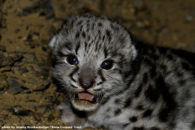 Agnes' cub inside the den - Snow Leopard Trust Researchers Encounter Wild Snow Leopard Cub