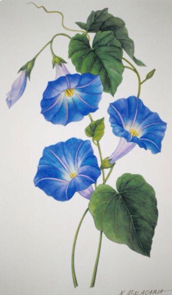 Blue Flower Clipart Morning Glory Vine 15 591 X 1016 Flower Art Watercolor Flowers Flower Painting