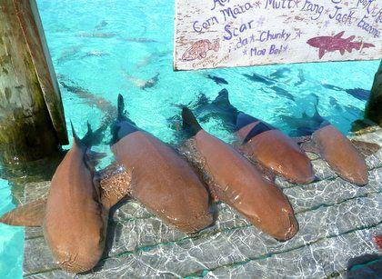Pet the nurse sharks at Compass Cay, Exumas. #Bahamas #Travel #Caribbean