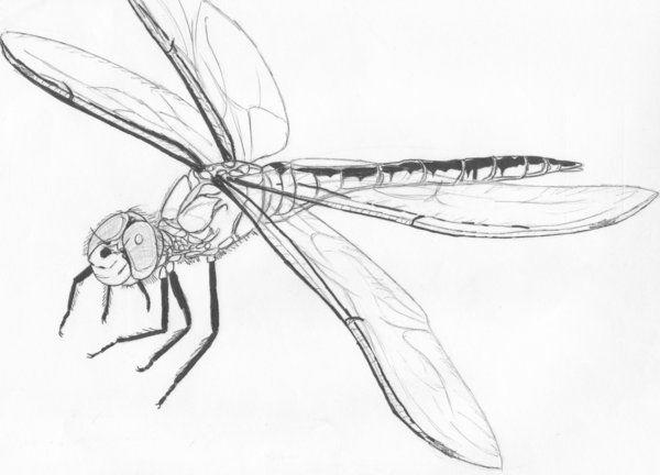 Dragonfly Tattoo Line Drawing : Dragonfly sketch by ashtardragonfire viantart