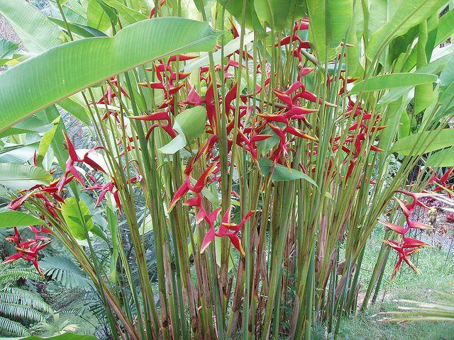 Heliconia La Planta Preferida En Jardines Tropicales Y: Heliconia Marginata X Bihai 'Rauliniana