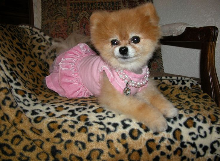 Bella poses on one of her Bella Blankies, which benefit Southern California Pomeranian Rescue.
