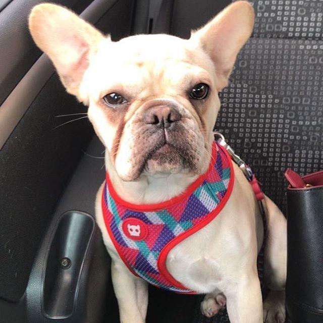 Cara de brava, mas sou bem princesa  #bulldogfrances #bully #frenchie #frenchielife #frenchiepuppy #frenchielove #doglover #love #luna #puppy #babydog #frenchiegram #zeedog #zeedoglovers