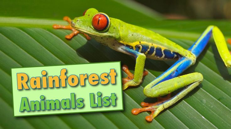 Rainforest animals list with pictures, facts & information.Learn about rainforestmammals, reptiles, insects & birds. From anteater to vampire bat.