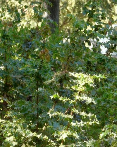 Oregon Grape - evergreen to 6' w/creeping rhizomes. Mahonia aquifolium tolerates seasonal flooding and clay. Mahonia aquifolium is great for a bird garden. Mahonia aquifolium's foliage color is reddish-green, flower color is yellow. Fruit is edible.