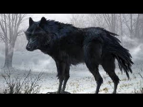 Wild discovery channel animals - The life of Black Wolf documentaries - .