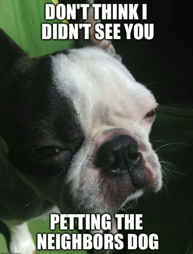 """""""Don't think I didn't see you petting e neighbors dog"""", French Bulldogs and Boston Terriers NEVER miss a thing."""