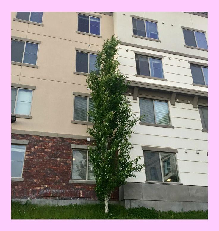 Swedish Aspen - Populus tremula 'Erecta', zone 3, medium tree
