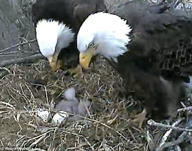 baby eagles | Loving attention: The proud parents of the two baby bald eagles guard ...