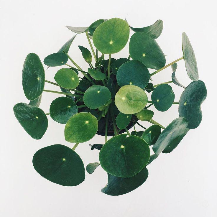 op dit moment mijn favoriete plant en heel makkelijk te stekken