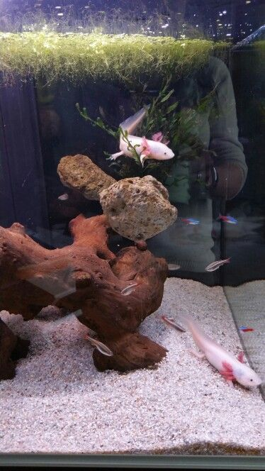 Beautifuls axolotls. perfect tank