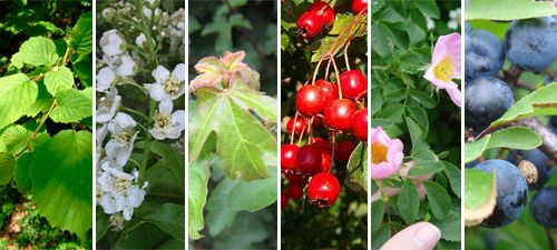 Discounted Pack - 100 x Mixed native hedging plants (Blackthorne based) - 40/60cm bare root Price: £49.99 10% each of Wild Cherry, Field Maple, Dog Rose, Hazel and Hawthorne the main component