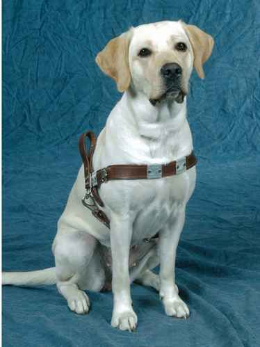 17 Best Images About Guiding Eyes For The Blind On