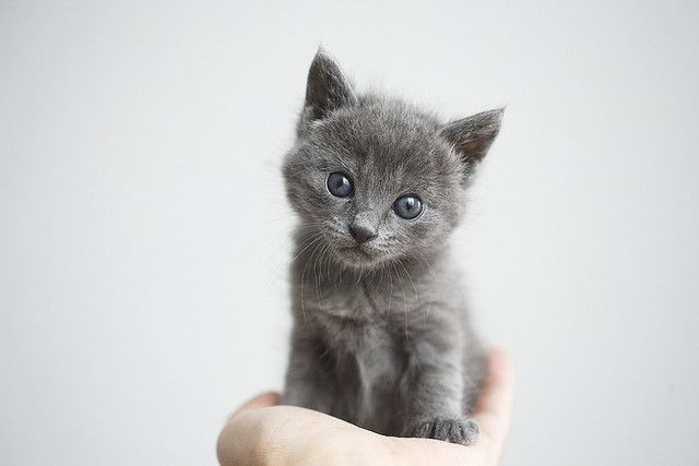 """I have a new beautiful Russian Blue kitten named """"Sacha""""...I pinned this months ago with no intention to adopt a new kitten.  Here we are months later and she fell into our lives just 2 weeks ago.  Special!!!!  Dreams come true even when you least expect them to."""