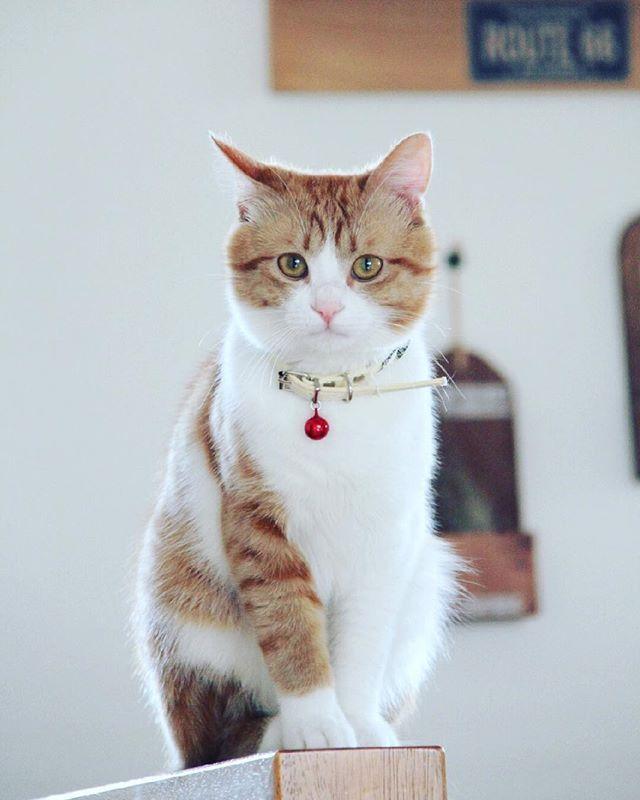 ・ ・ #canonphotography #canon_photos #canon7d #canonphoto #catsofinstagram #cat #cutecats #catstagram #instagramcats #mycat #ilovemycat #instacat  #instagood #instapic #relaxtime #animals #ニャンスタグラム #ねこ部 #愛猫 #カメラ目線 #まったり #マンチカン #インスタ映え #猫好きな人と繋がりたい #一眼レフのある生活 #カメラ日和 #写真好きな人と繋がりたい #カメラ好きな人と繋がりたい #ファインダー越しの私の世界 #写真は心のシャッター