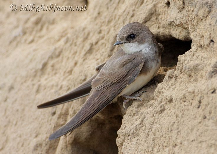 sand martin | Mike Atkinson Bird Photography