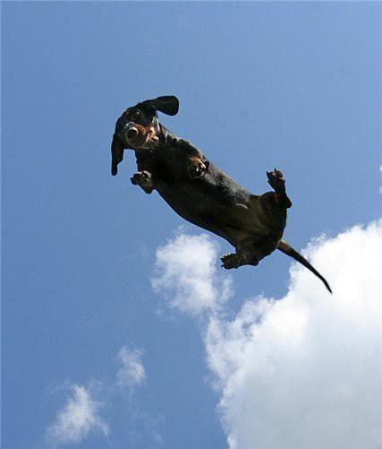 Flying dachshund!