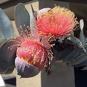 Eucalyptus macrocarpa is one of the best flowering Eucalypts. Red flowers in spring on a small tree.