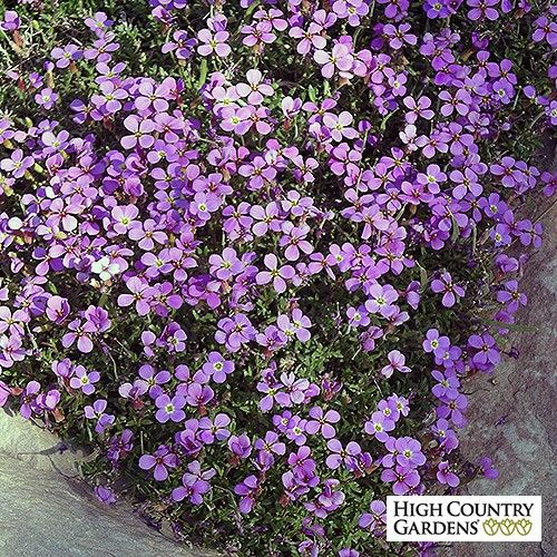 A gorgeous wildflower from the Balkan Mountains of Eastern Europe,this tight growing groundcover disappears under a blanket of amethyst-purple flowers in early to mid-spring.  Drought resistant/drought tolerant plant (xeric).