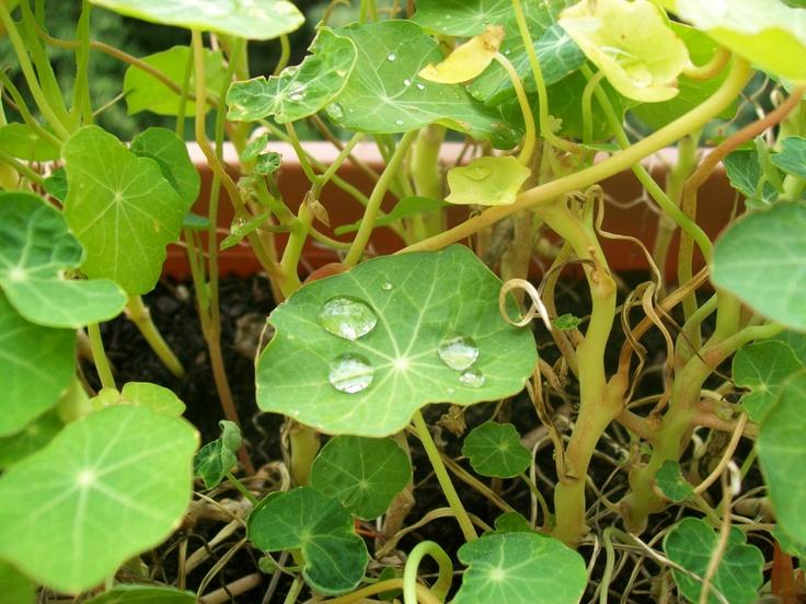 Perles d'eau sur feuilles de capucines