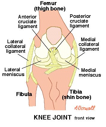 Knee Joint Illustration - Lateral collateral ligament (LCL) of the knee