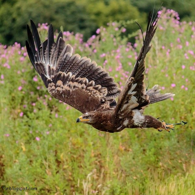 صور صقر خلفيات صقور Hd وبعض المعلومات عن الصقور Animals Beautiful Birds Pet Birds