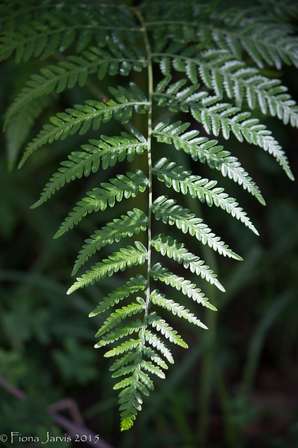 L1M2AP3 'Fern' Shallow D.O.F, close up of fern, AV auto mode, no flash, tripod, midday under tree, Canon 600D, 55-250mm lens, FL 84mm, ISO 200, 1/125 sec, f/4.5 RAW JPEG, The shallow depth & subtle light in this position helped the green fern stand out from the green background. I tried many different view points with this naturally growing fern until a breeze moved the fern fronds too much.