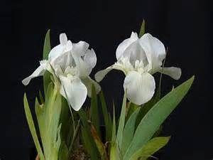 Iris 'Bright White' - Bing images