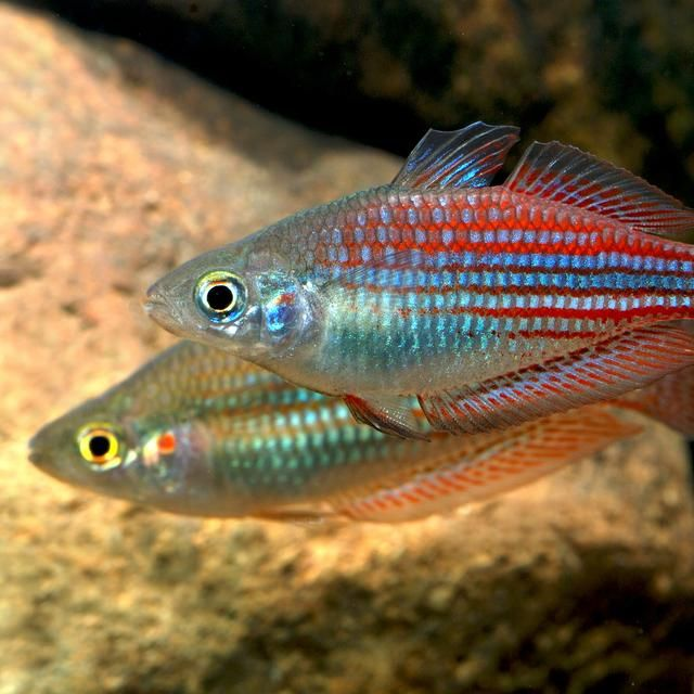 1000 images about gotta have a rainbow on pinterest for Freshwater rainbow fish