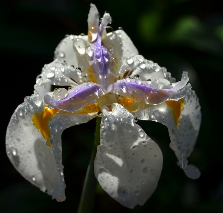 Water droplets on an #iris in the Uplands gardens. By Rosemary Hall #white