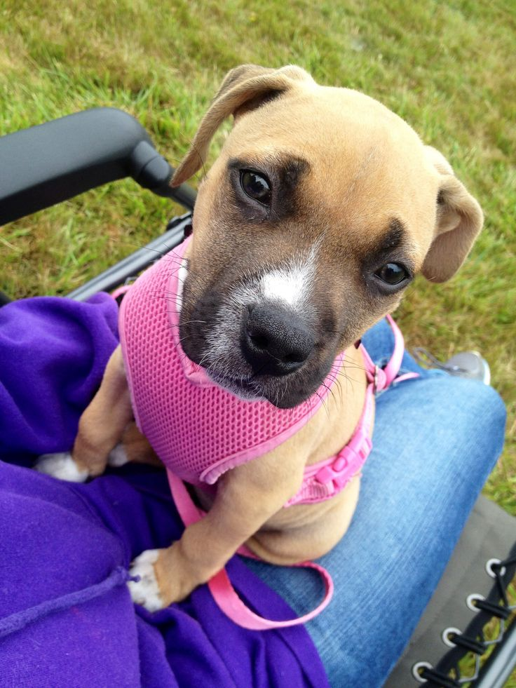 First camping trip #pitbull #boxer #mix #puppy