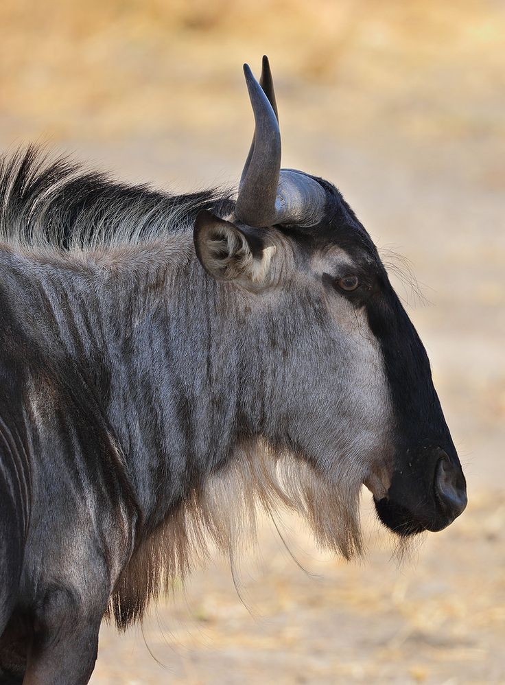 Blue Wildebeest (Connochaetus taurinus) photographed by Achim at Tarangire N.P., Tanzania on 6th October 2015