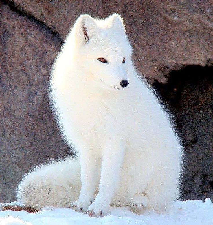 Beautiful Arctic Fox.  There's a possibility that my AF is Fox.  This lovely being fits well into my Winter palette.