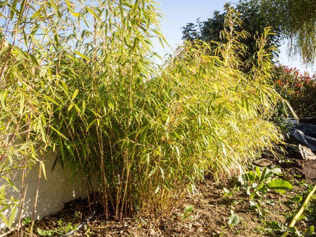 les 25 meilleures id es de la cat gorie bambou fargesia rufa sur pinterest fargesia rufa haie. Black Bedroom Furniture Sets. Home Design Ideas