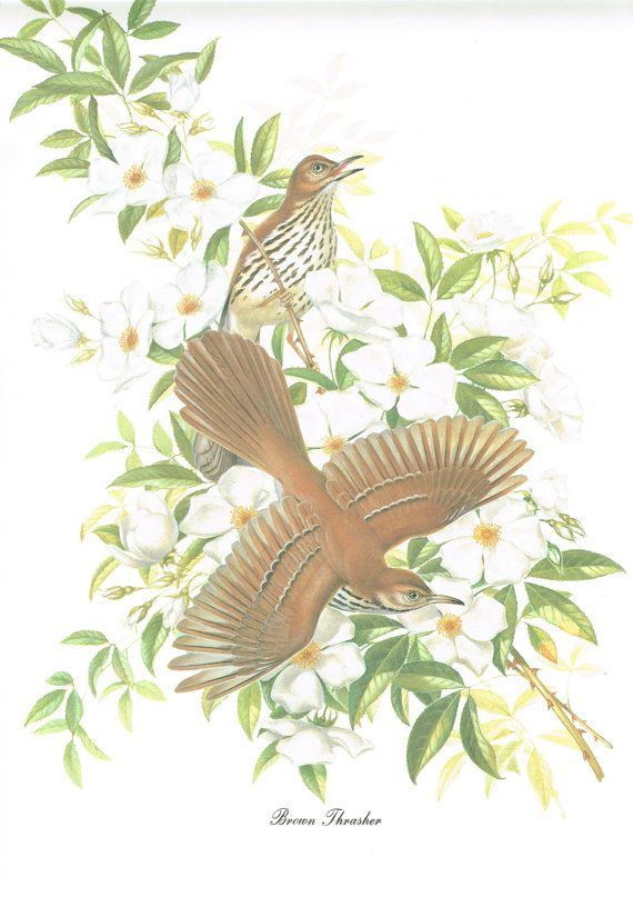 "Vintage Book Print of Brown Thrasher Birds by Menaboni 9""x12"""