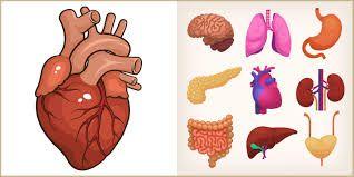 Resultado de imagen para imagenes de corazon organo