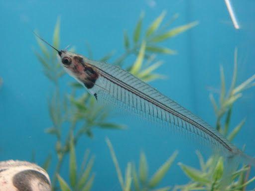 Painted Glass Catfish
