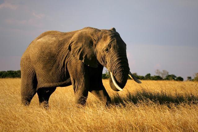 African Elephant: Fact Sheet: African elephant - <i>Loxodonta africana</i>